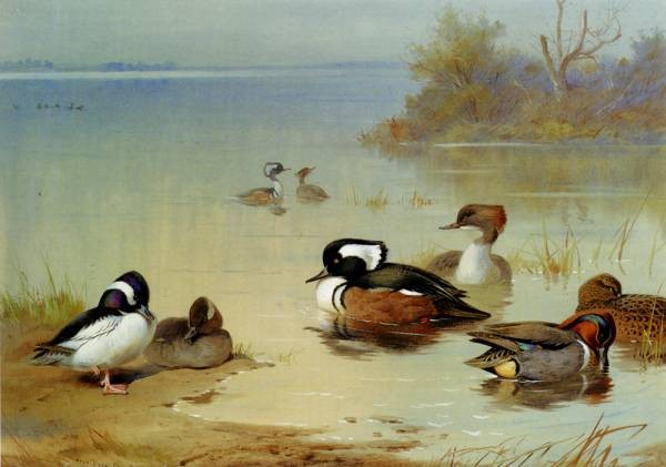 Buffel Headed Duck American Green Winged Teal And Hooded Merganser